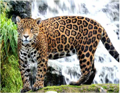 genus panthera - photo #16